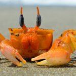 Fiddler Crab (c) wilitocricri, pixabay.com