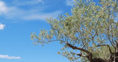 Olive Tree (Toscana, 2016)