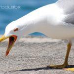 Biognosis Toolbox Promo - screeching seagull on dock