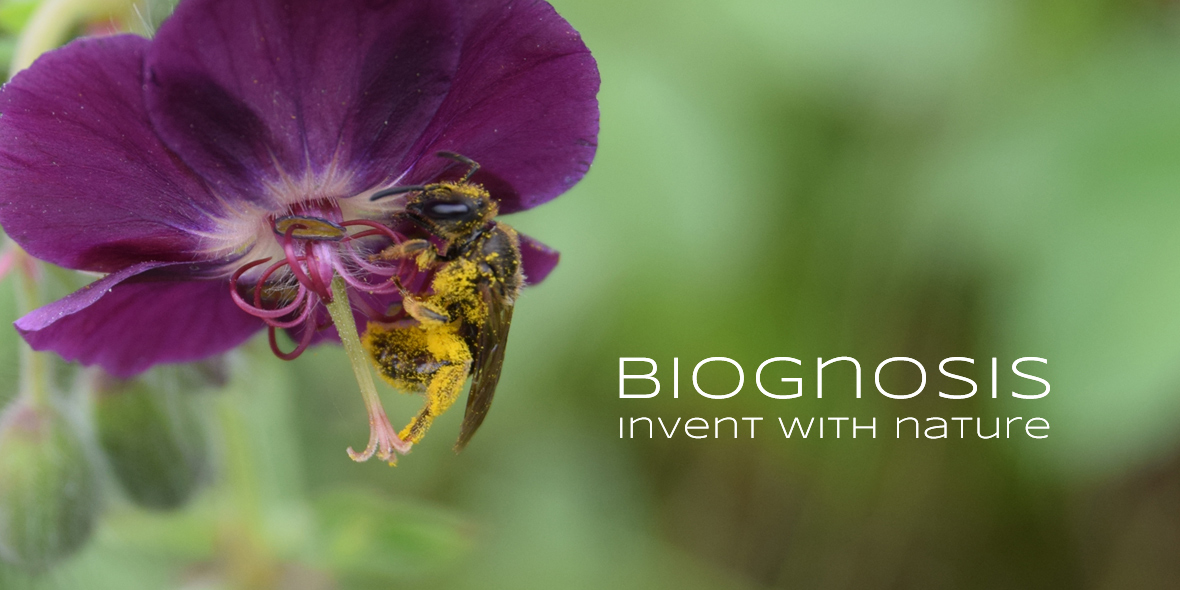 Pollenbeladene Biene in Blume, mit Text: Biognosis - Invent with Nature