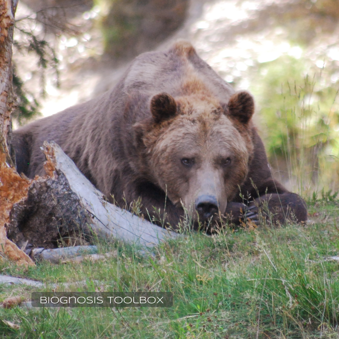 European brown bear, resting