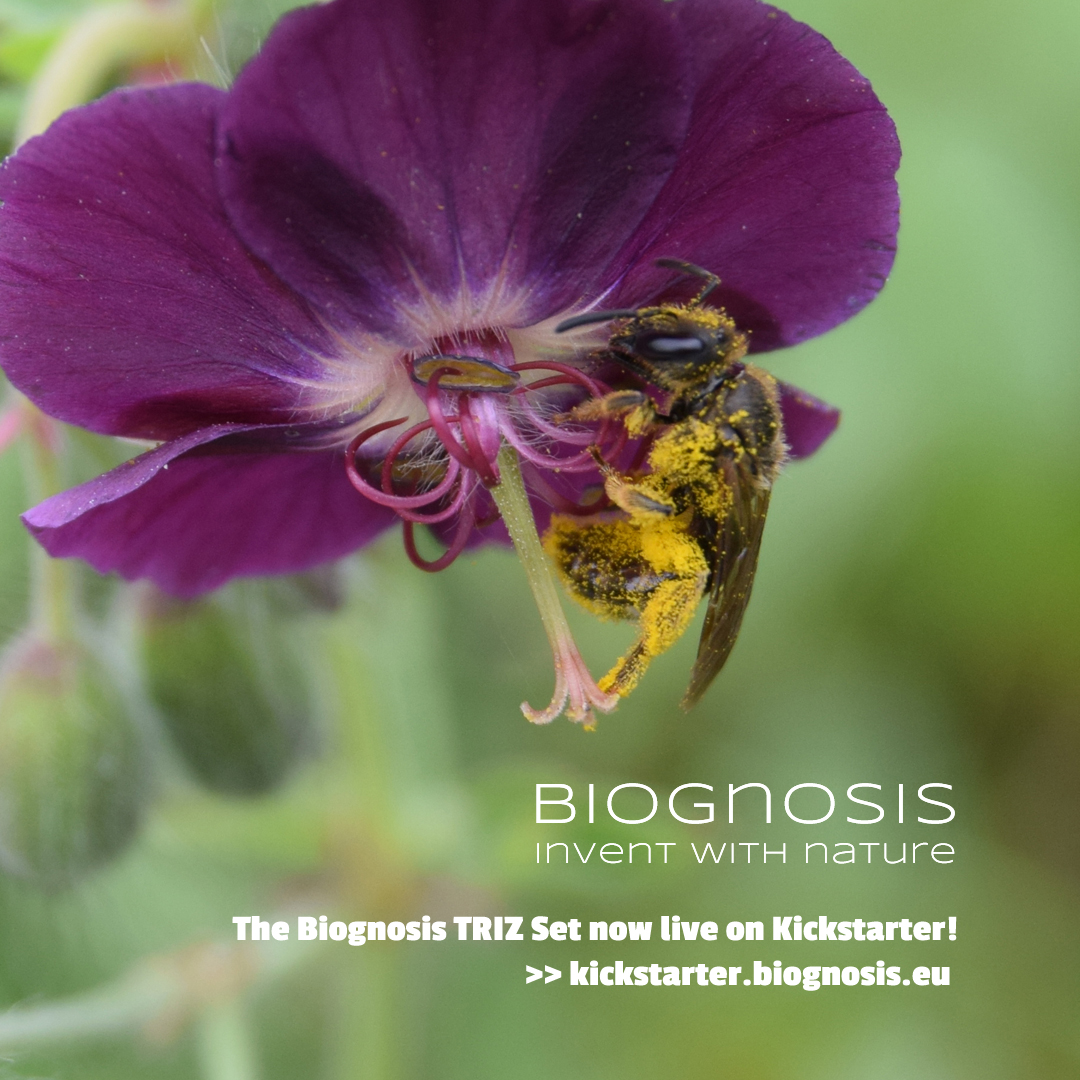 Bee with pollen in flower (with crowdfunding link)