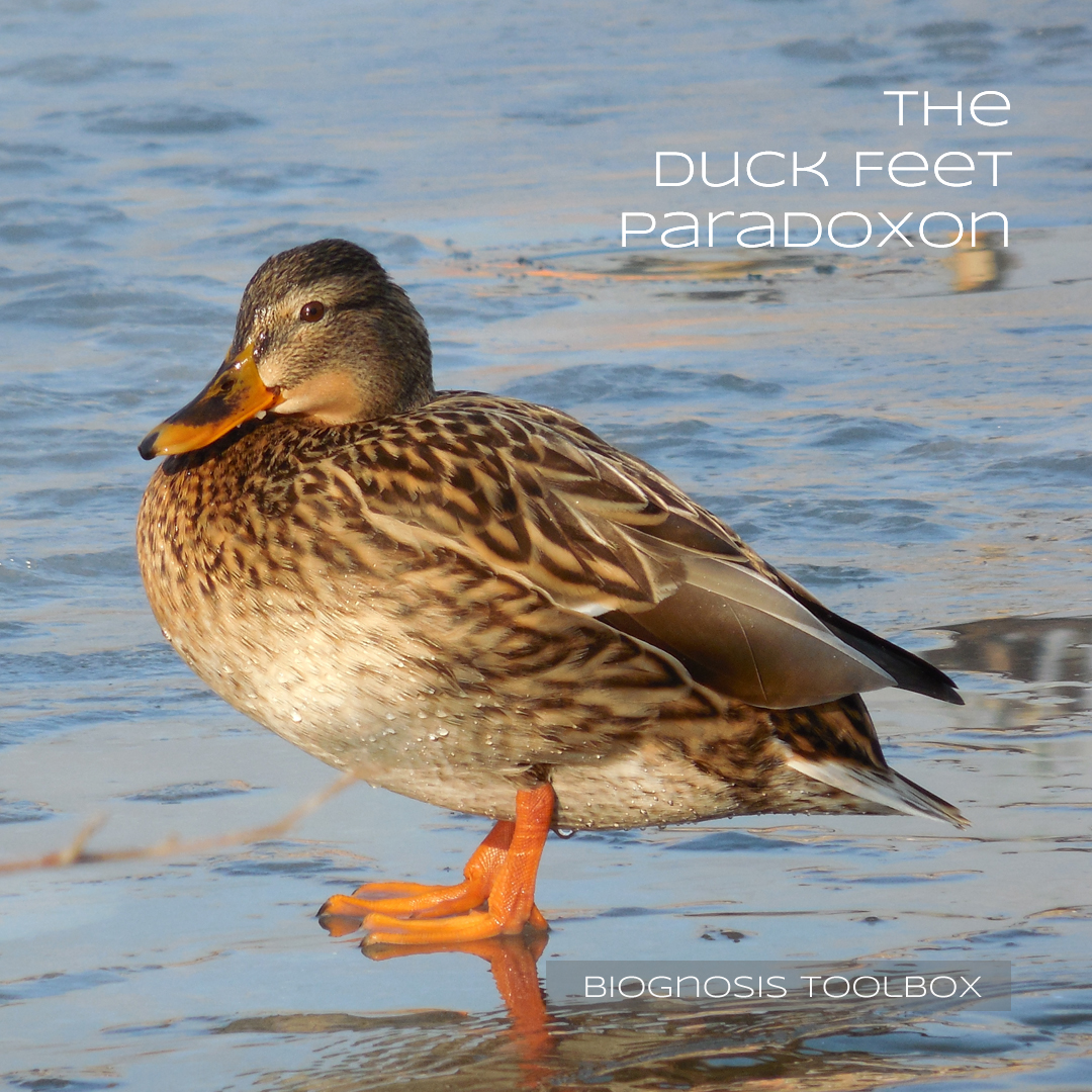 "Picture showing a duck standing on ice (because their feet are always cold) - with slogan ""The Duck Feet Paradoxon"""